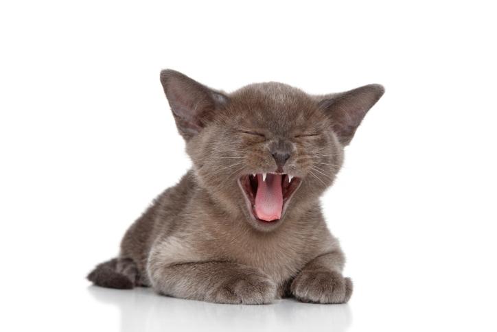 asito cica