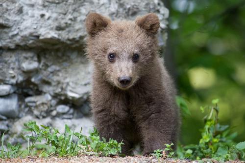 román medvebocs