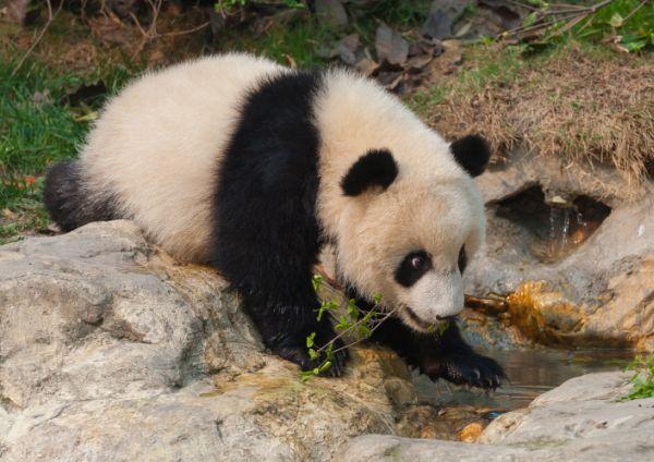 Tas névnap - panda a kövön