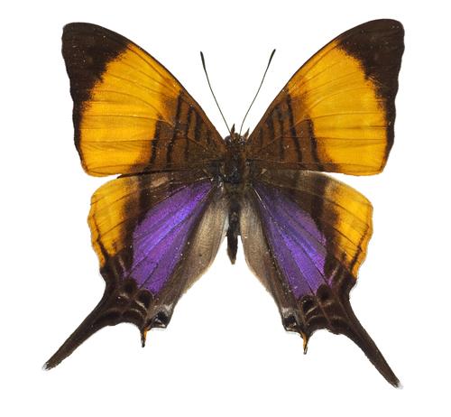 Marpesia Marcella