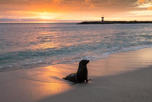 Bebifoja Punta Carolan Galapagoson