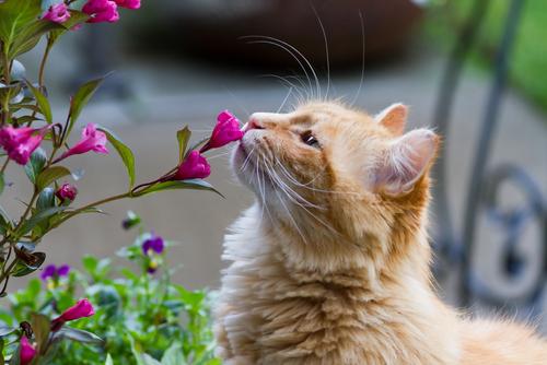virág cica