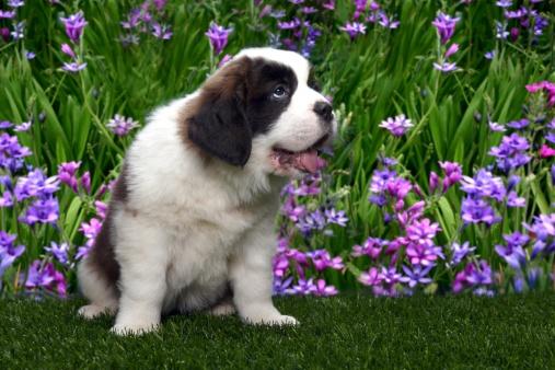 Bernát névnap - bernáthegyi kutyakölyök