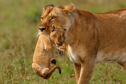 Lea névnap - nőstény oroszlán
