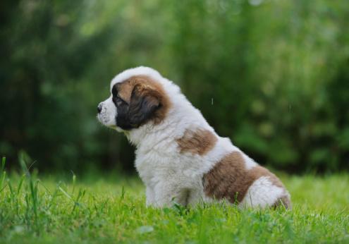Bernát névnap - Bernáthegyi kutya