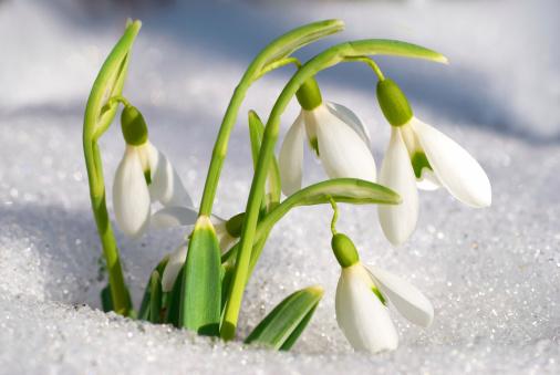 """Képtalálat a következőre: """"hóvirág"""""""