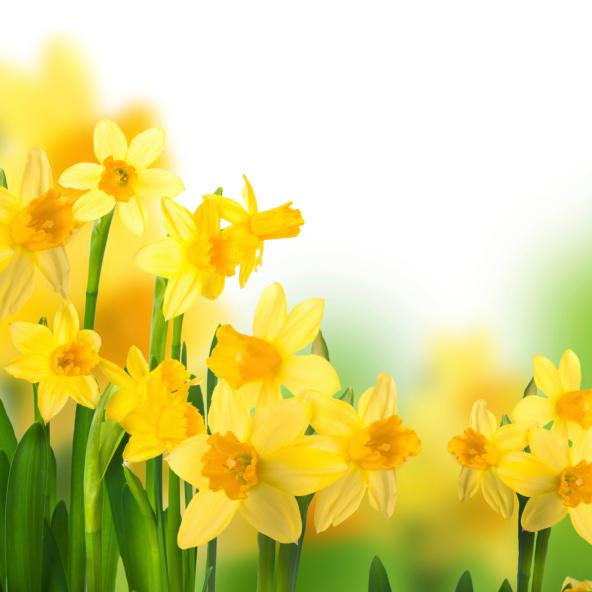Nárcisz névnap - nárciszok