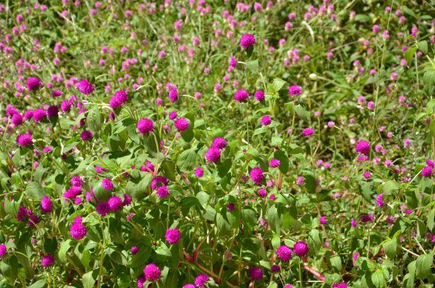 Perpetua névnap - perpetua roxa