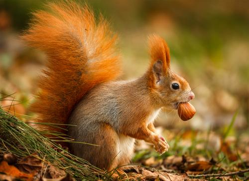 mogyoró mókus