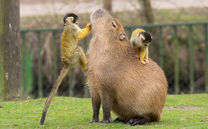 kapibaraa