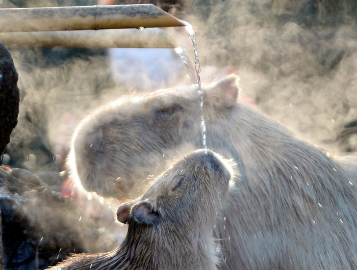 Kapibarák termálfürdőt vesznek