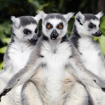 Lemurs from Madagascar at Avifauna Bird Park