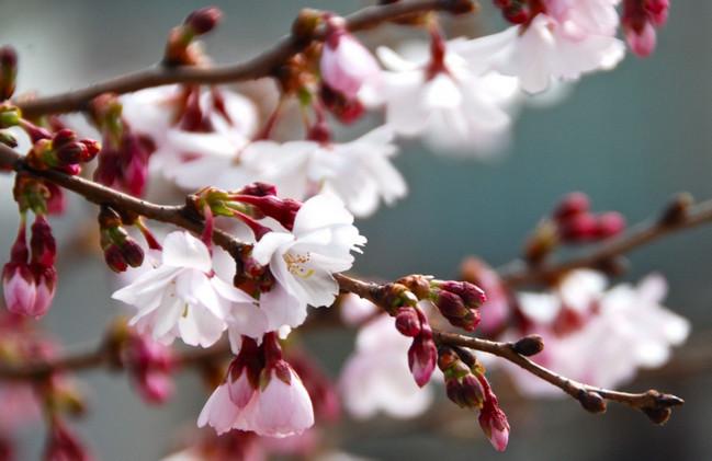 cseresznyefa-virág